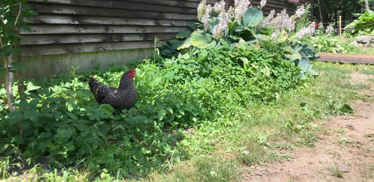 Hen in the Hostas