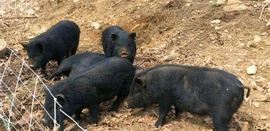 Feeder Hogs