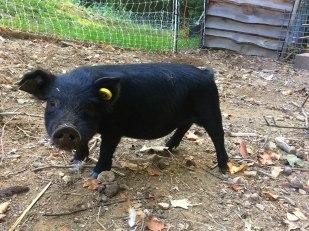 Happy Hog